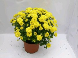 Chrysanthemum multiflora k 15 (1.5 l)